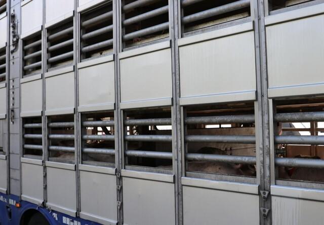 Corona udskyder løsning for dyretransportørerne