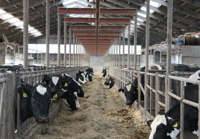 Forskning med rapsfrø i kvægfoder for at mindske metan