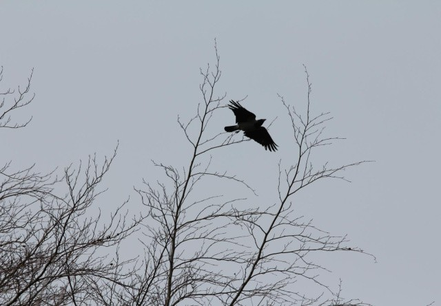 Fund af fugleinfluenza på Bornholm og i Ringsted