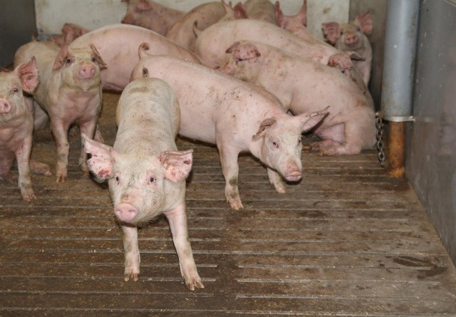 Markant fald i tyske svinepriser