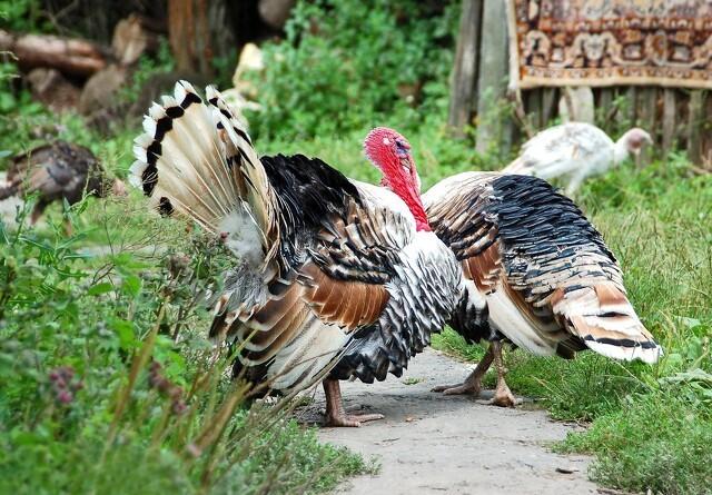 Vestsjællandsk kalkunbesætning ramt af fugleinfluenza