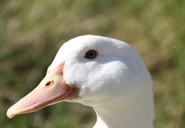 100.000 høns, ænder og kalkuner aflivet på grund af fugleinfluenza