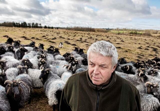 Fåreavler sætter sin lid til nye og højere hegn