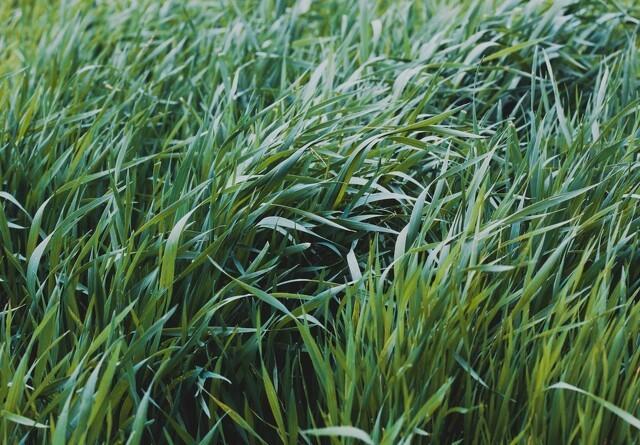 Planteavlskonsulent: Hold igen med vækstregulering i sorter med god stråstivhed