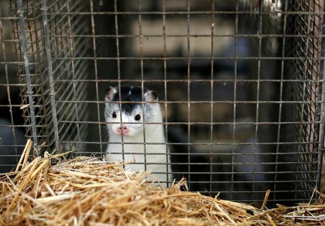 Rusland godkender coronavaccine til mink