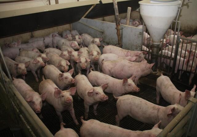 Nedlukningen sætter sit præg på markedet for fersk svinekød