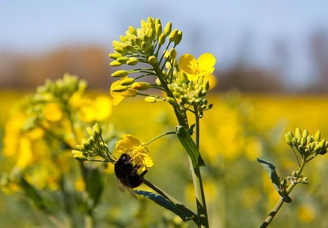 Bestøvning med bier kan øge udbyttet af raps