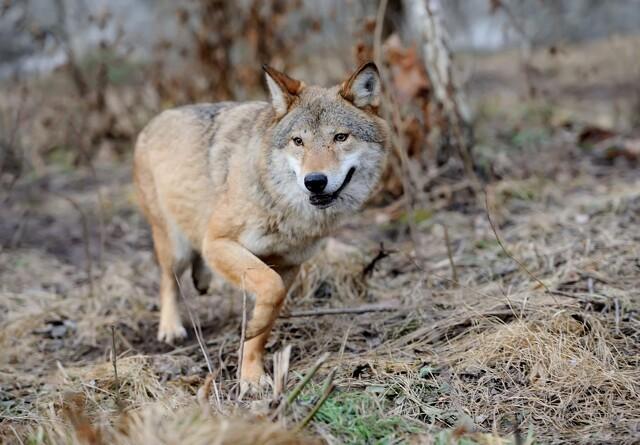 Kryptiske dødsfald blandt danske ulve