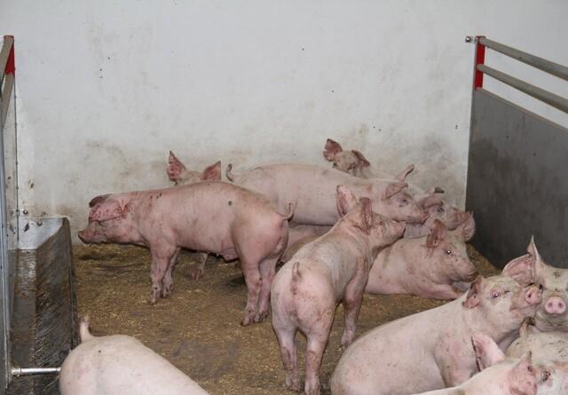 Verdens produktion af svinekød vil stige med 3,4 procent i år