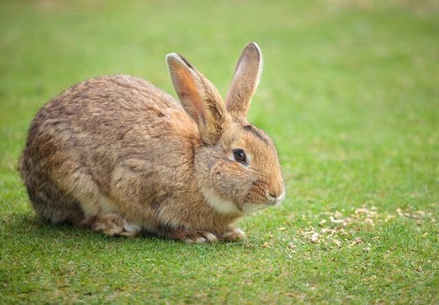 AU foreslog kaninavl istedet for mink
