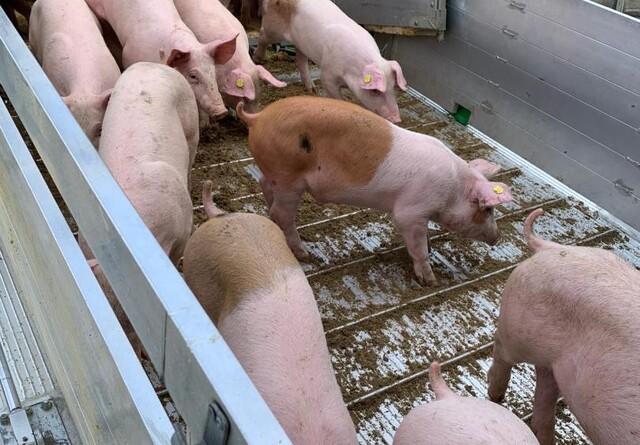 Ny transportbekendtgørelse vil medføre færre smågrise på grisetransporter