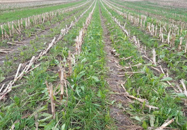 Præcisionssåning giver de bedste efterafgrøder i majs