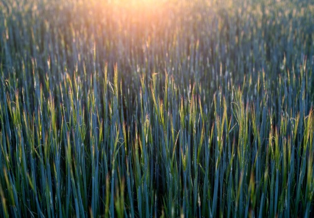 Ny whistleblowerordning skal bekæmpe fremmede plantesygdomme og snyd med økologi