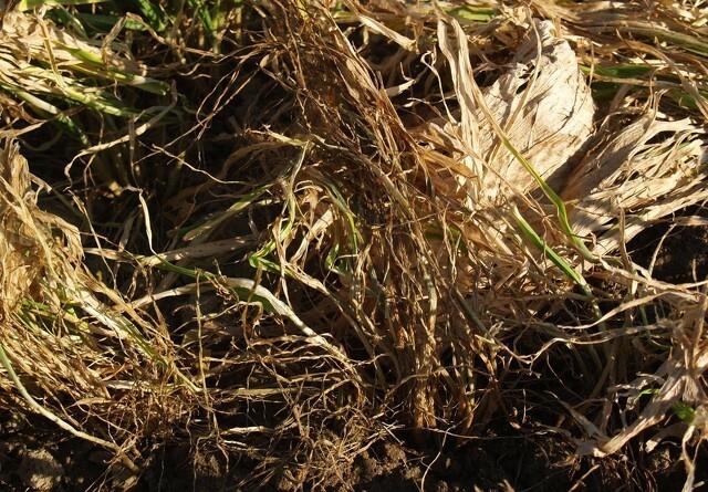 Forskere: Lad planterester rådne på marken - det er godt for klimaet