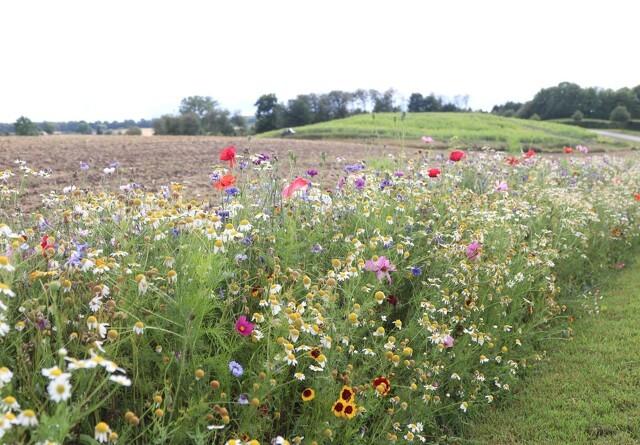 Hjælp insekter og rådyr: Lad blomsterstriberne stå