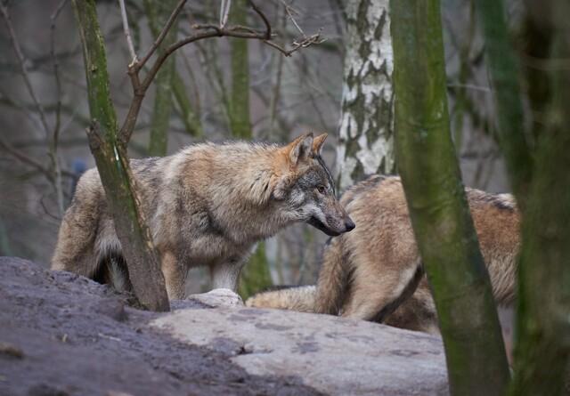 Medie: Mulighed for nyt kuld ulvehvalpe