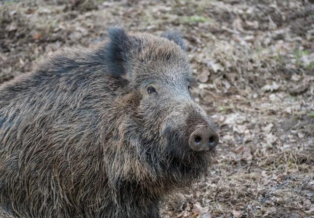 Seges: Ingen vildsvin i Danmark