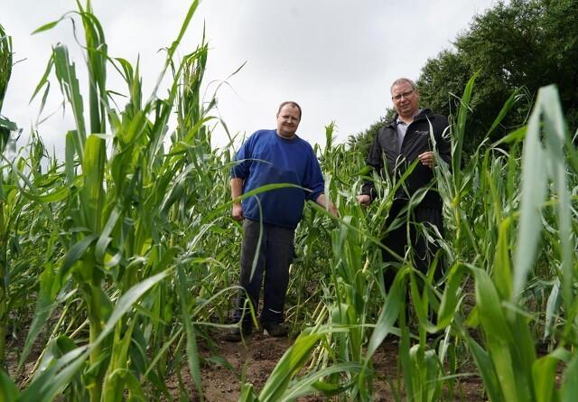 Uvejr har kostet 20 procent udbytte i majsmark