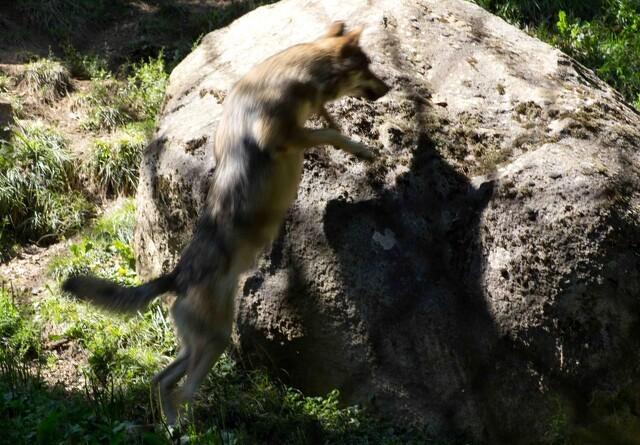 Ny ulvehvalp dukket op i Klelund Plantage
