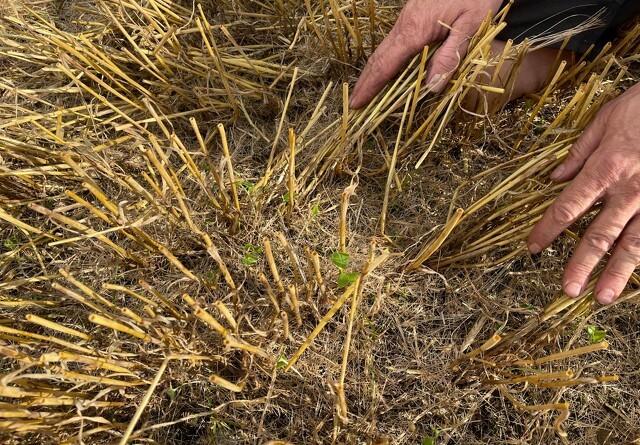 Efterlyser ny model for efterafgrøder i landbrugsudspil