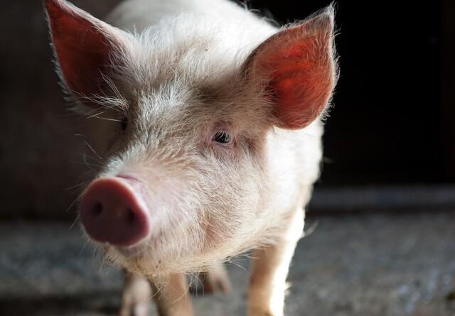 Svinepest konstateret på danskejet svinelandbrug i Rusland