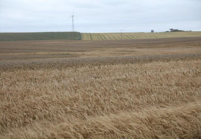 Jyske Markets:Kansas Wheat Tour indikerer lavere hvedeproduktion