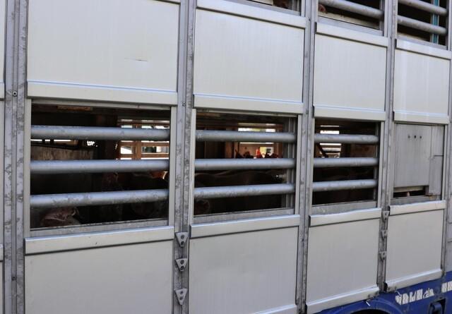 Højdekrav i dyretransporter skal undersøges af forskere
