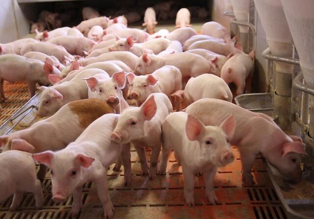 Snak til grisene - så stresser de mindre