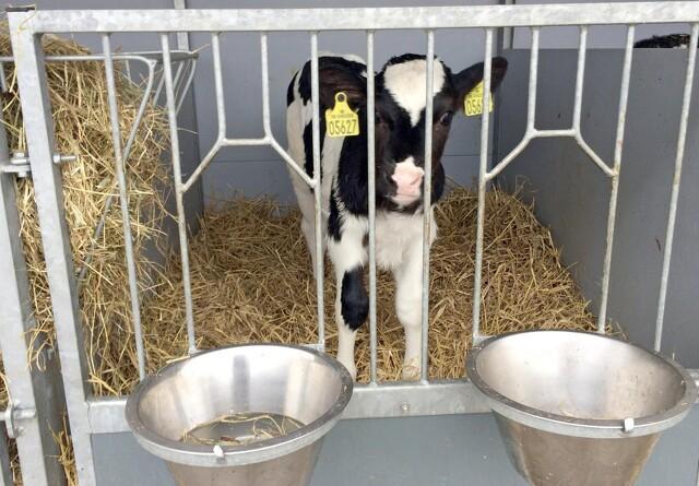 Mere tid sammen for ko og kalv