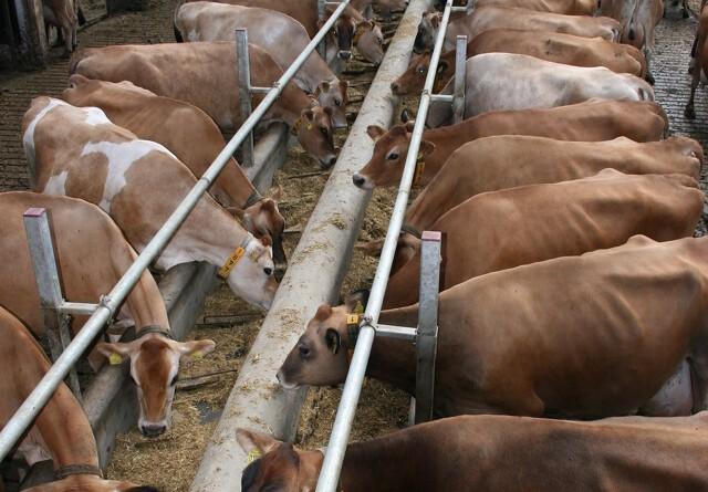 Forskere vil finde koens livret
