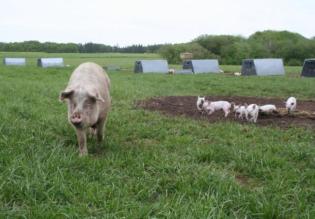 Halter dyrevelfærden hos øko- og frilandssvin?