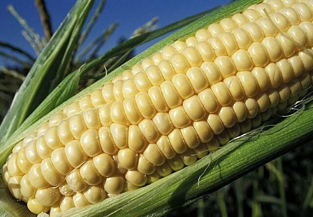 Forsøg med GMO-majs i Sydjylland