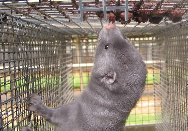 LandboNord: Minkavlere holder skindet på næsen