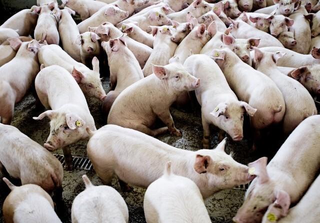 Regeringen vil have støtteordning for svinebranchen