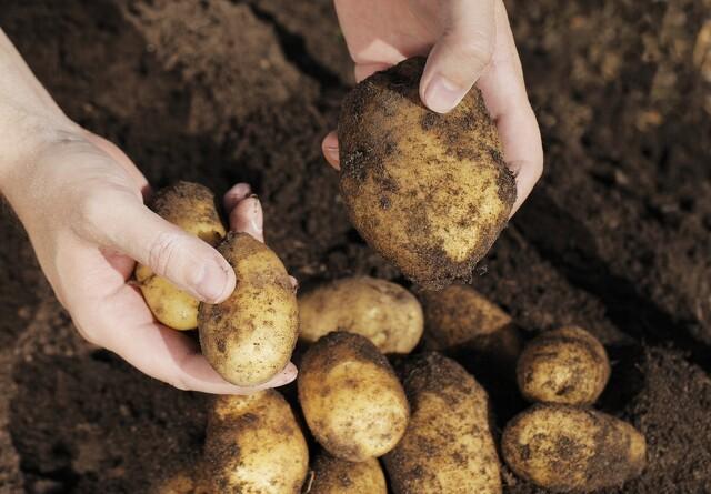 Millionoverskud hos Danespo trods lave kartoffelpriser