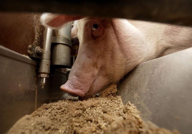 Fermentering og enzymer kan forbedre fiber- og fosforfordøjelighed hos svin