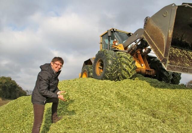 Kan revet majs øge mælkeydelsen?