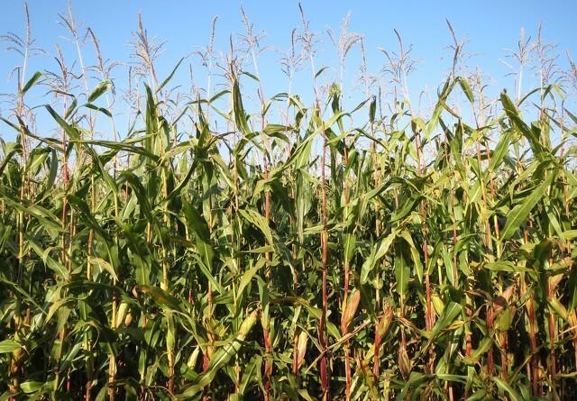 ØL: GMO-forbud vil styrke landbrugets konkurrenceevne