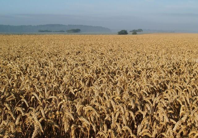 Svampe kan hjælpe tørkeramt hvede