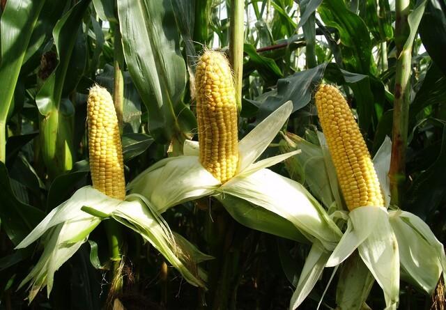 19 EU-lande siger nej til GMO-majs