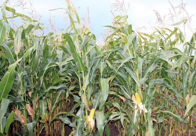 Vælg majssort efter typiske dyrkningsår