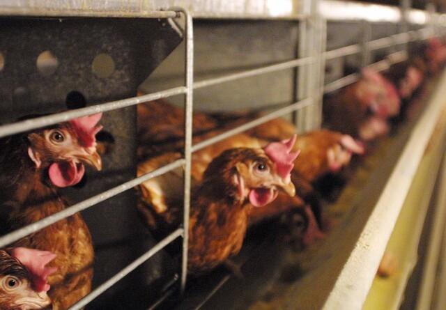 Trange vilkår for høns i buropdrætssystemer
