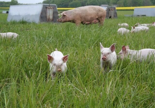 Lav MRSA-forekomst blandt øko-svinebedrifterne