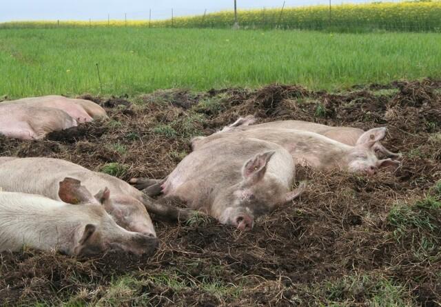 Fremgang for økologiske svinebedrifter