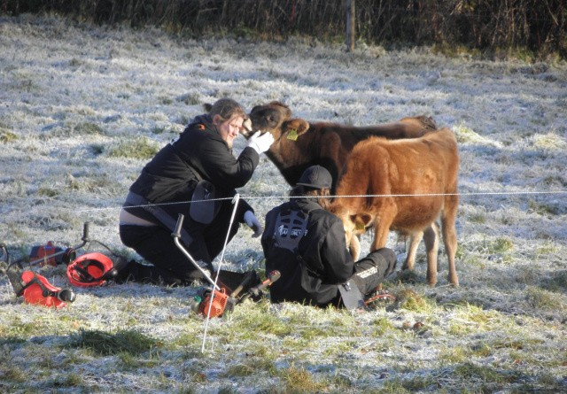 Naturligt kalveliv på højskolen