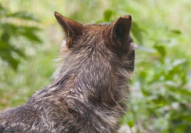 Nyt ulveangreb koster syv får livet