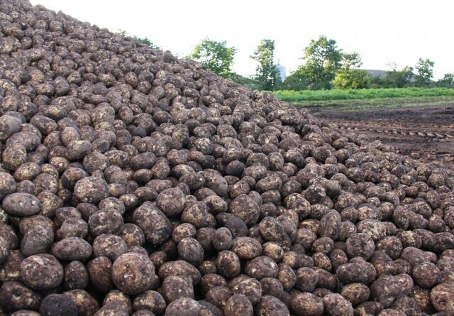 Forædling af danske kartoffelsorter er sikret i fremtiden