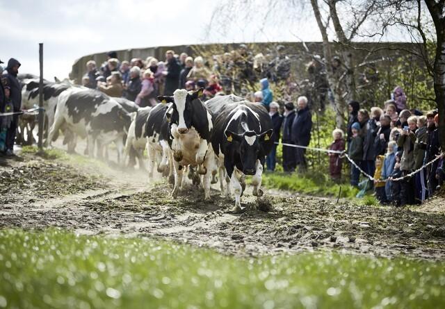 208.000 danskere lukkede øko-køer på græs