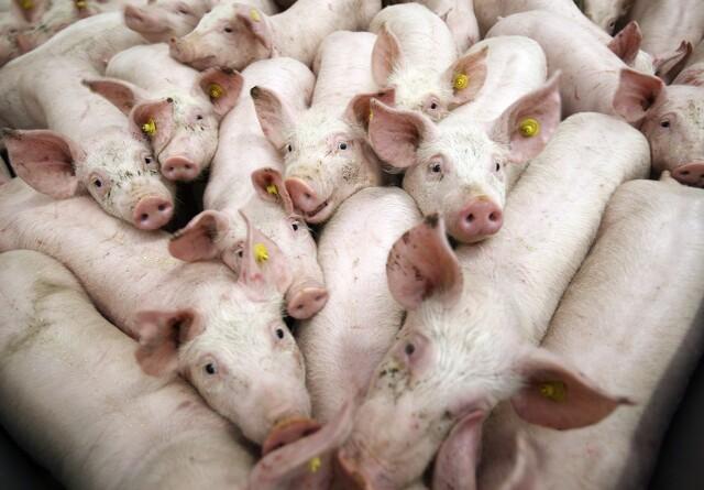 Den danske stat investerer i kinesisk mega-grisefarm