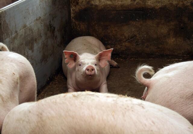 Kinesisk tv besøger dansk svineproducent